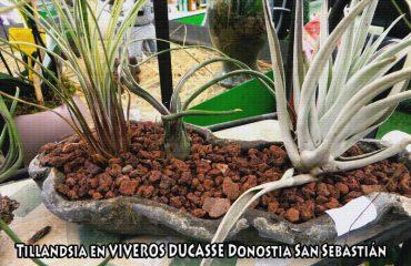 Tillandsia-VIVEROS-DUCASSE-Donostia-San-Sebastián-©-