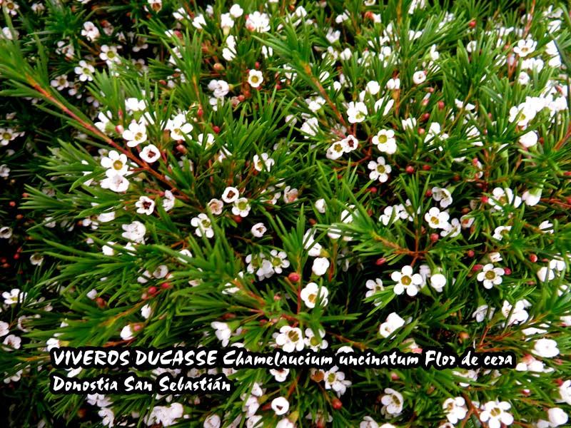 7a83a54d081e En Donostia San Sebastián Chamelaucium uncinatum Flor de cera ...