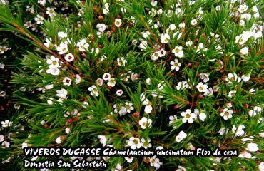 En Donostia San Sebastián Chamelaucium uncinatum Flor de cera VIVEROS DUCASSE