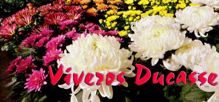 Crisantemos y Margaritas en Donostia San Sebastián. Viveros Ducasse