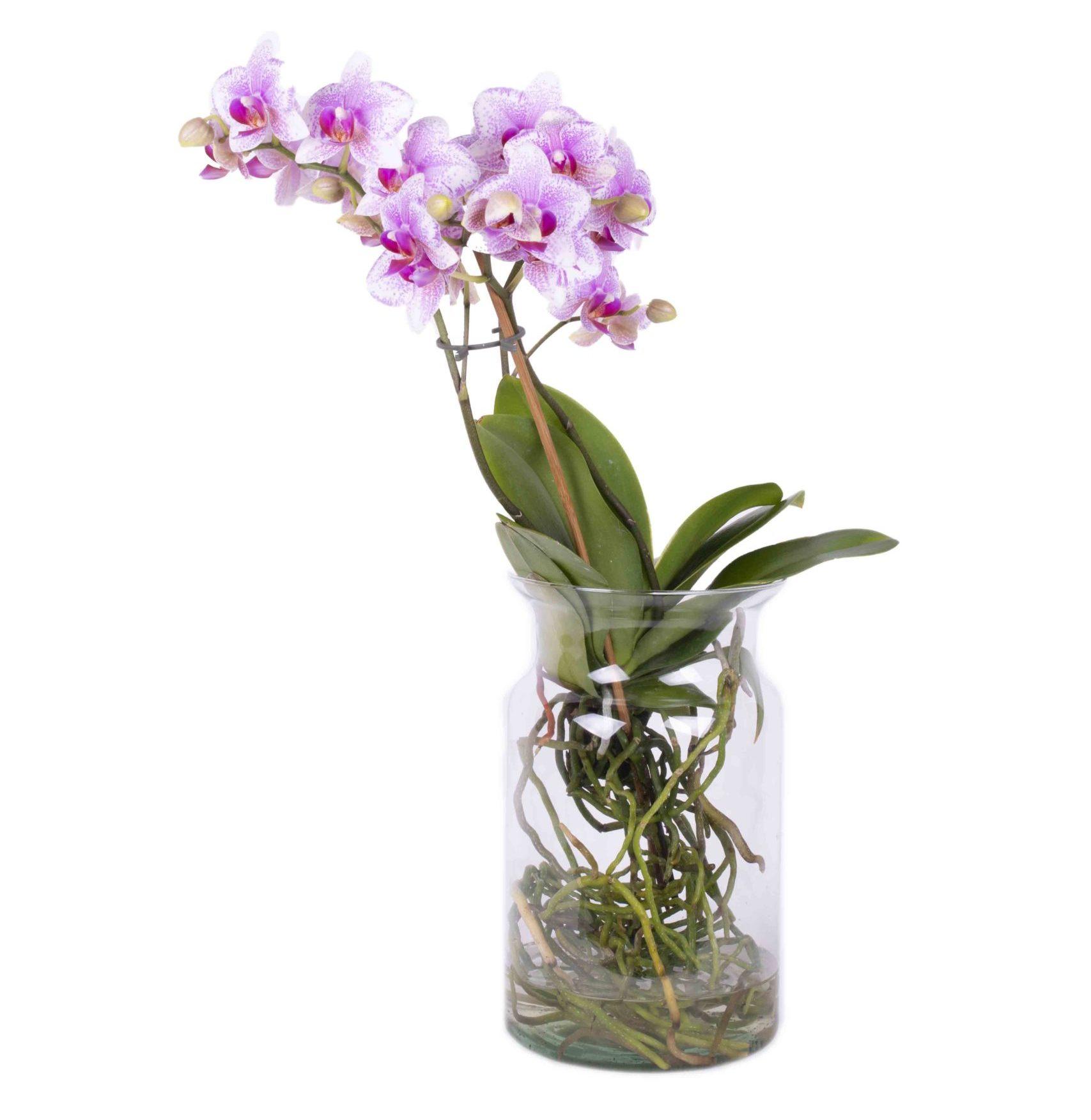 orquidea cristal