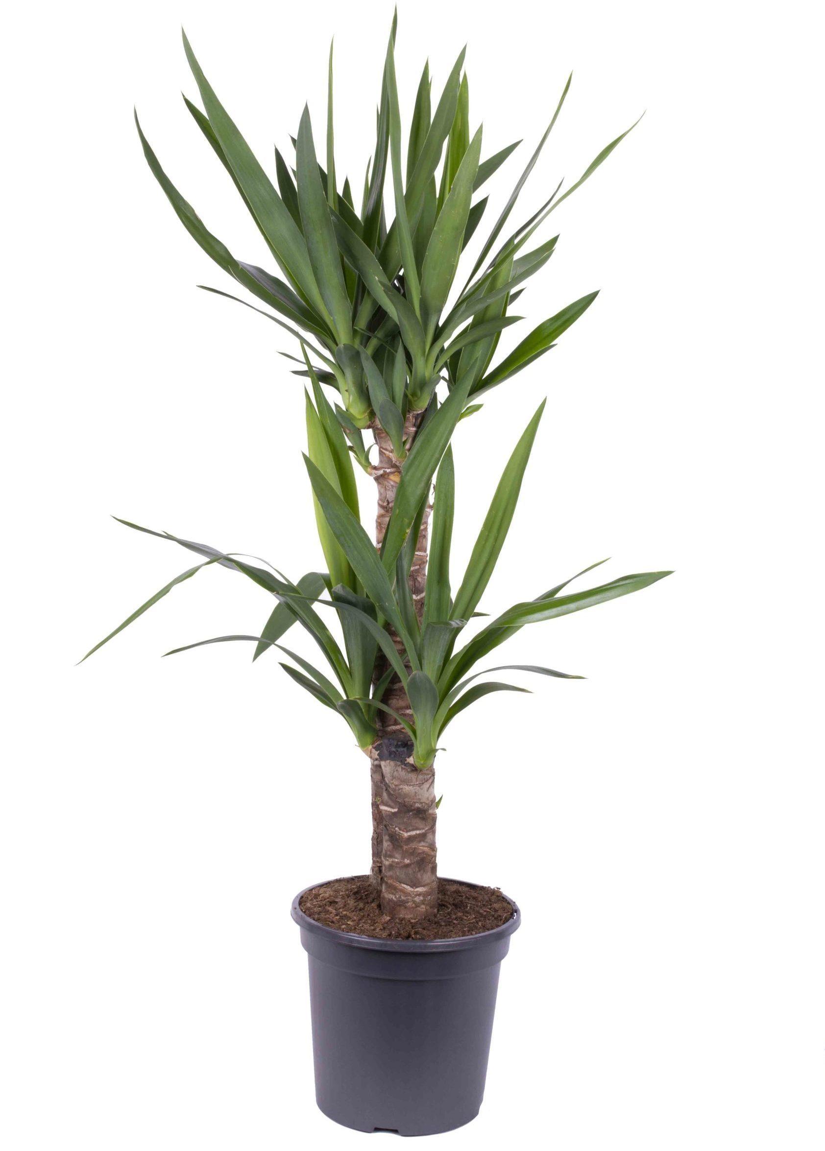 yucca dos troncos