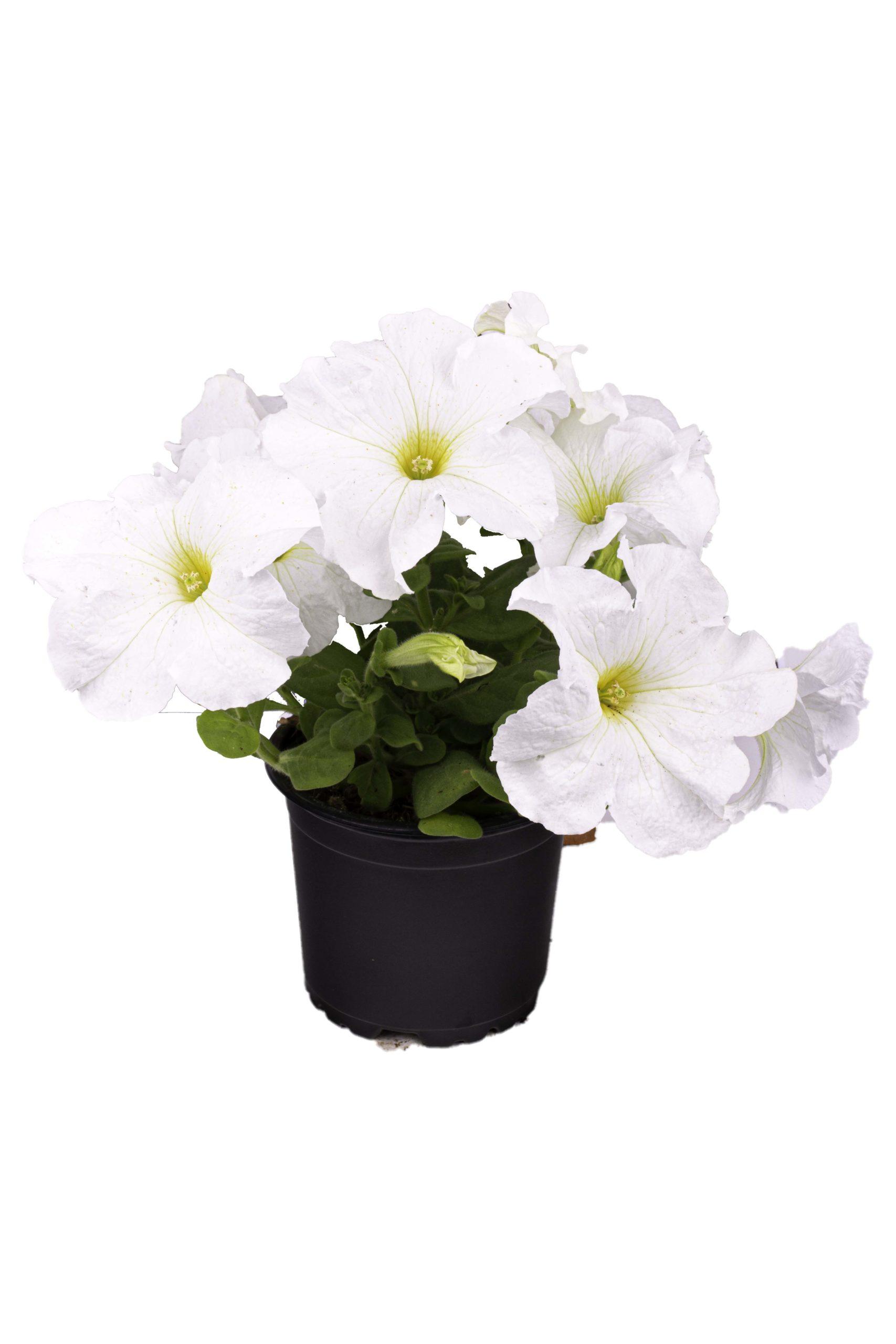 petunia blanca