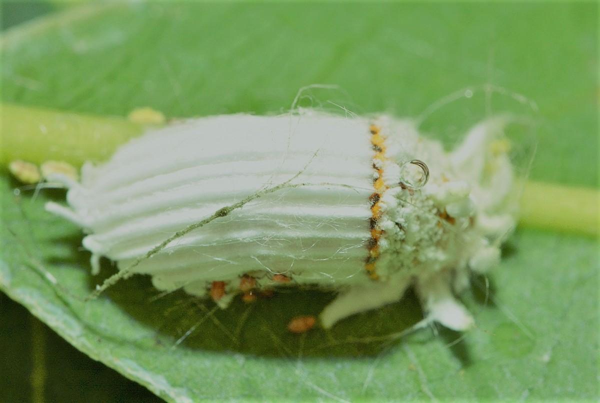 cochinilla-blanca-acanalada