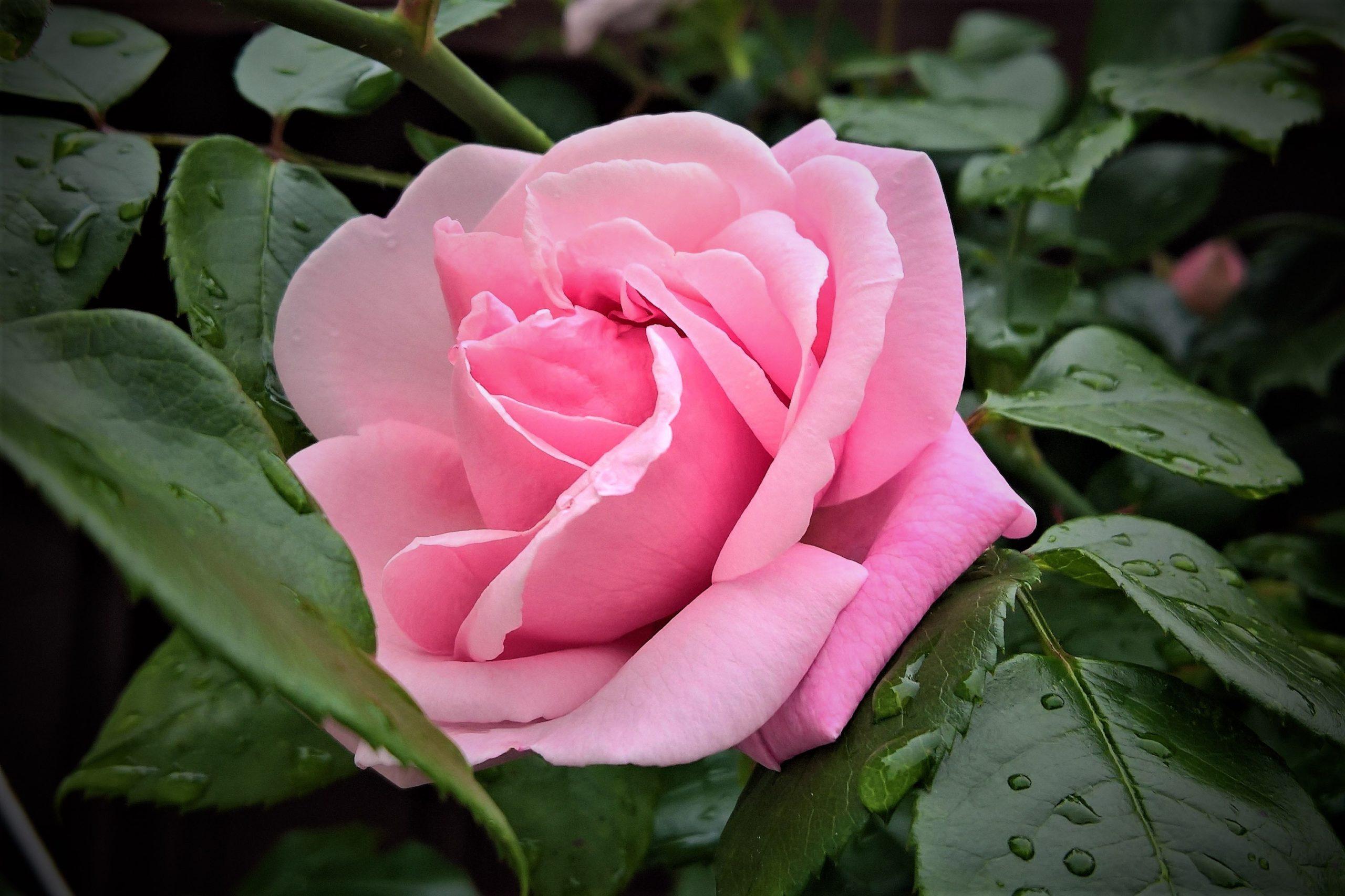 flower-4264291